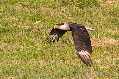Crested Caracara ~ Photographed in central Texas.  These large scavenger birds are common in central and south Texas, although they weren't anxious to get their pictures taken.  This was the closest shot I got.