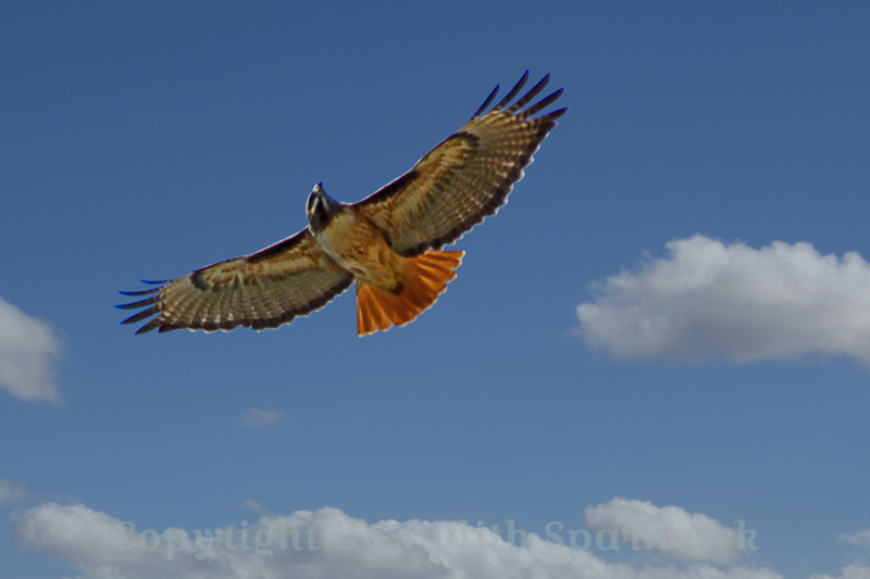 Red-tailed Hawk Aloft~
