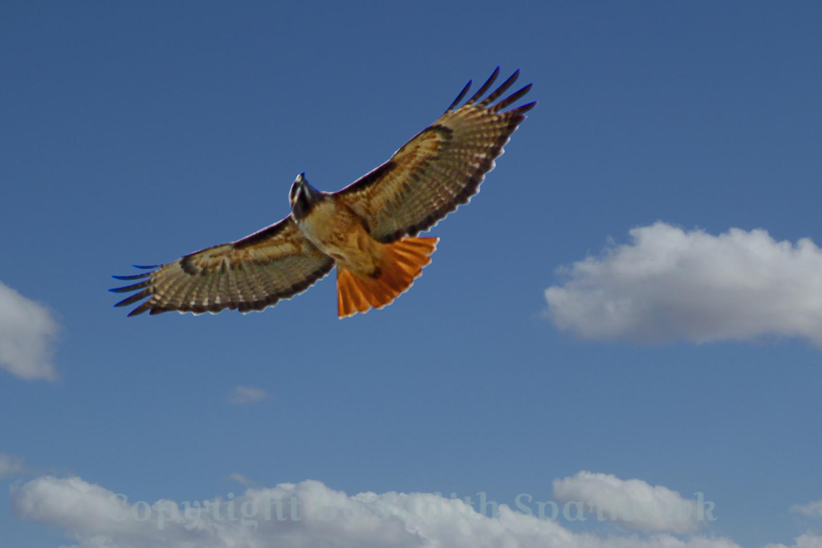 Red-tailed Hawk Aloft~