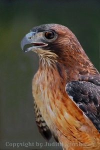 Red-tailed Hawk Portrait ~ This male redtail came to the rescue park when he developed visual problems that kept him from seeing well enough to hunt.  He had beautiful plumage and posed nicely for me.