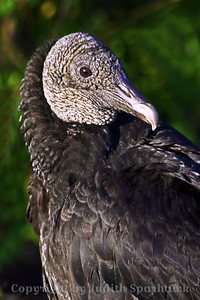 Black Vulture Close-up ~Everywhere we went in southern Florida, there were lots of vultures, both Turkey and Black Vultures.