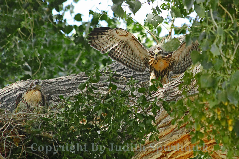 Baby Red Tailed Hawks