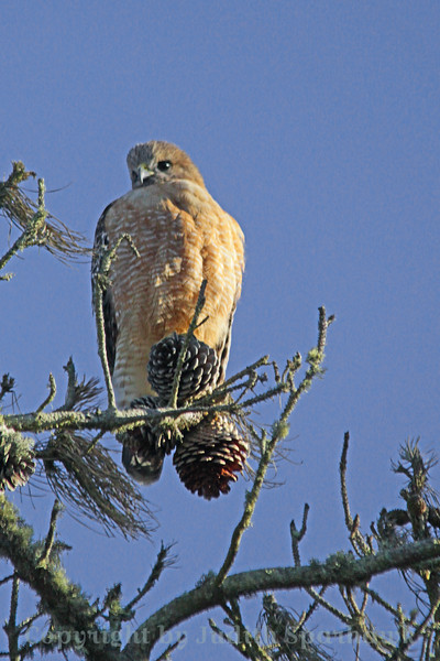 Red-shouldered Hawk ~ This hawk was photographed near the small town of Baywood, along the shore of Morro Bay, perched in a pine tree of some kind.