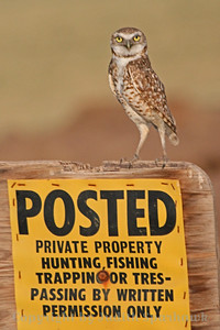 The Enforcer ~ I was down at Salton Sea, and saw many, many Burrowing Owls.  Apparently the babies are up and out of the burrows, and the numbers are visibly up.  I liked this feisty little guy who was enforcing the no trespassing rules.  He stood straight up like this, alternating with lowering to an offensive position and hissing at me.  I didn't trespass.