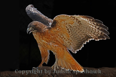 **Awarded 3rd prize in the Calendar Photo Contest, and will be in the 2013 calendar** Red-tailed Hawk Winging It ~ This beautiful Redtail was photographed at Big Bear Rescue Park in Big Bear Lake, California.
