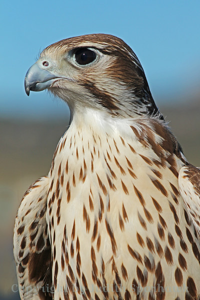 Prairie Falcon Portrait ~ Today I visited the Hawkwatch program at the Ramona Grasslands in San Diego County.  I had the opportunity to photograph some hawks close-up.  I enjoyed making portrait shots.  They were all so beautiful.