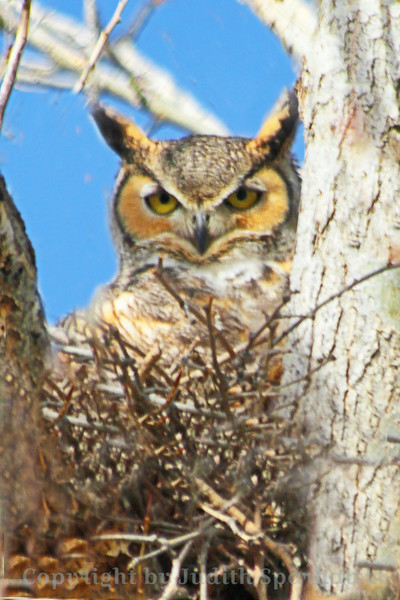 Great-horned Owl ~ This nesting owl was photographed at the Riverside National Cemetery today.  The owls start nesting earlier than most birds--January 21, 2014.
