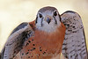 American Kestrel Portrait ~ This smallest of the North American falcons, the kestrel is one of my favorites.  This is a male; a female would be all brown.  Hawkwatch, Ramona Grasslands.