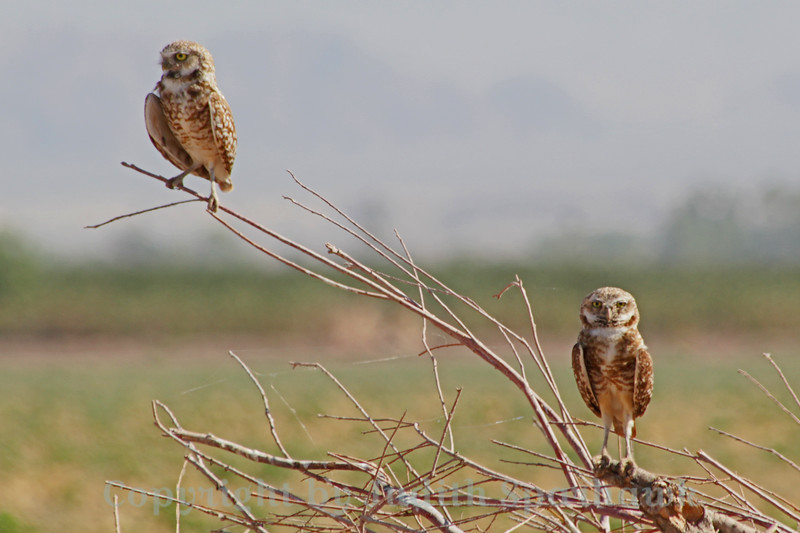 Burrowing Owl Duo ~ Not the best shot, due to the very bright direct sunlight.  I liked seeing the pair perched up on this bare shrub, so included the shot anyway.
