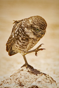 High-Stepping Burrowing Owl