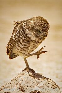 High-Stepping Burrowing Owl