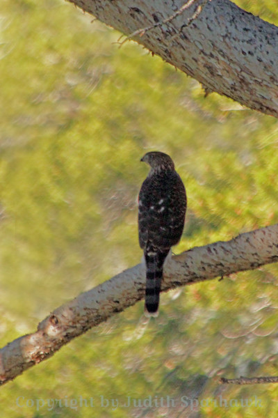 Northern Goshawk ~ This isn't a particularly good photograph, but I was thrilled to get any picture at all of this wonderful forest hawk.  He flies very fast in forests, zipping around and between trees, altering his angle and position to avoid collision.  His fast stealth flight is his means of taking birds and small mammals by surprise, finding breakfast on the fly.  He was photographed at Virginia Lakes, at high elevation, north of Lee Viniing, in the eastern Sierras.