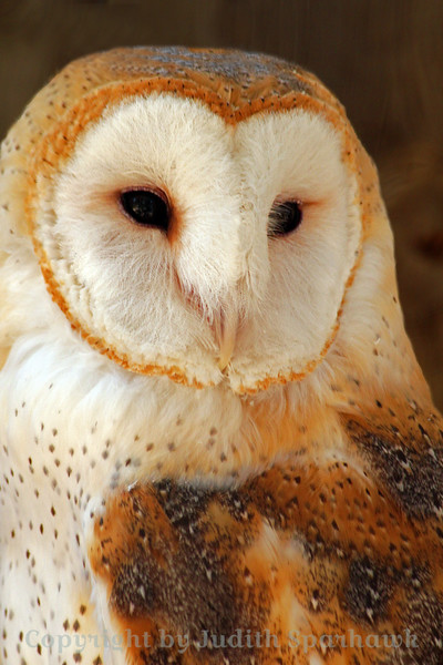 Barn Owl Portrait ~ This Barn Owl was photographed at Big Bear Rescue Park where he lives.  It was difficult shooting through wire and in a very shaded cage, so I was happy to get a result as good as this.
