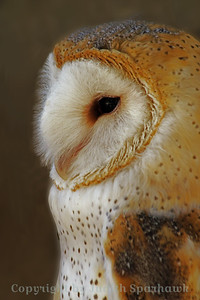 Like My Fuzzy Face? ~ Another view of the Barn Owl at Big Bear Rescue Park in Southern California.
