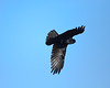 Raven Somersault<br /> Ravens at Tussey Hawk Watch Bedford Co. PA