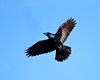 Raven Scout<br /> Ravens at Tussey Hawk Watch Bedford Co. PA