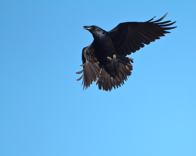 Raven Spirit<br /> Ravens at Tussey Hawk Watch Bedford Co. PA
