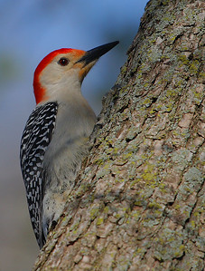 Red=Bellied Woodpecker