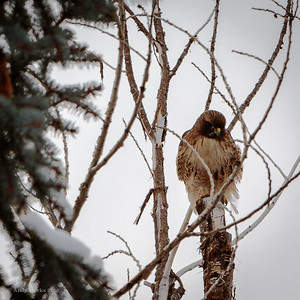 Red tailed hawk in the neighbor's dead cottonwood.