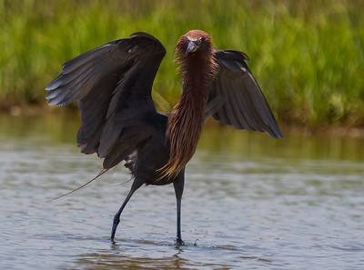 Reddish Egrets, San Luis Pass, June 2013