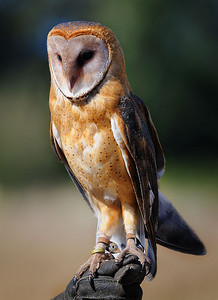 Owl on gloved hand
