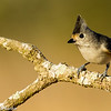 Tufted Titmouse or Black Crested Titmouse