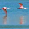 Roseate Spoonbills<br /> Click Ponds, Florida<br /> 230-4610c