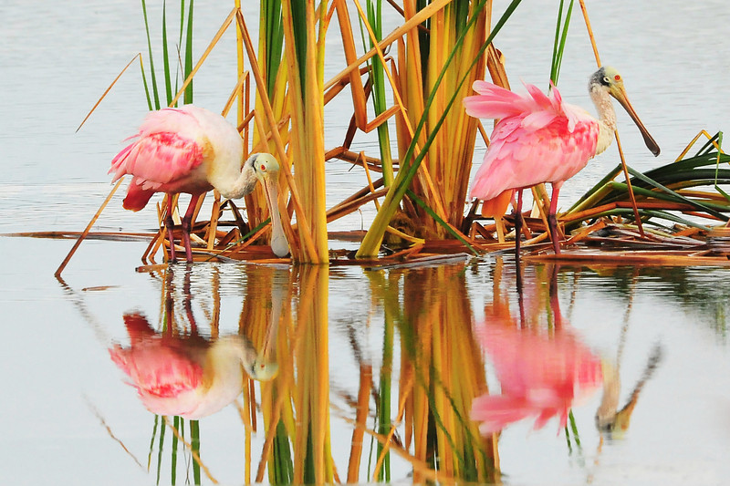 Roseate Spoonbill<br /> Click Ponds, Florida<br /> 228-3581c