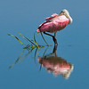 Roseate Spoonbill<br /> Click Ponds, Florida<br /> 231-5308a