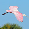Roseate Spoonbill<br /> Click Ponds, Florida<br /> 229-4208a