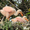 Roseate Spoonbill Chicks