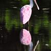 Roseate Spoonbill<br /> Viera, Florida<br /> 149-2070b