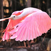 Roseate Spoonbill<br /> Merritt Island, Florida<br /> 108-2721a