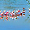 Roseate Spoonbill Flock<br /> Click Ponds, Florida<br /> 230-4909d