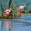 Roseate Spoonbills<br /> Click Ponds, Florida<br /> 229-4419a