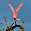 Roseate Spoonbill<br /> Merritt Island, Florida<br /> 207-0944v5