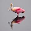 Roseate Spoonbill<br /> Merritt Island, Florida<br /> 183-0460a