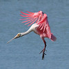 Roseate Spoonbill<br /> Click Ponds, Florida<br /> 227-3463a