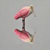 Roseate Spoonbill<br /> Merritt Island, Florida<br /> 183-0461a