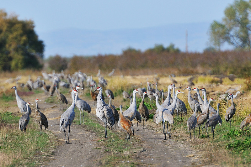 Difference between Greater and Lesser Sandhill Cranes