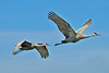 Sandhill Cranes in Flight<br /> Viera Wetlands<br /> 262-3247a