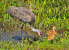 Sandhill Cranes with Chicks<br />  Viera Wetlands, FL<br /> 275-5827a