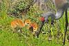 Sandhill Cranes<br />  Viera Wetlands FL<br /> 275-5694b