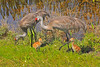 Sandhill Cranes with Chicks<br />  Viera Wetlands, FL<br /> 275-5618a