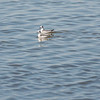 Red-necked Phalaropes  (winter plumage)