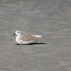 Wilson's Phalarope (winter plumage)