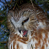 Saw Whet Owl sequence - Close up with mouth open to expell pellet