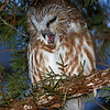 Saw Whet Owl sequence - regurgitating a pellet photo 2 - opening mouth