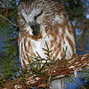 Saw Whet Owl sequence - regurgitating a pellet photo 3 - the pellet coming out of the mouth