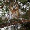 Saw Whet Owl another view - Boone County 1/6/2012